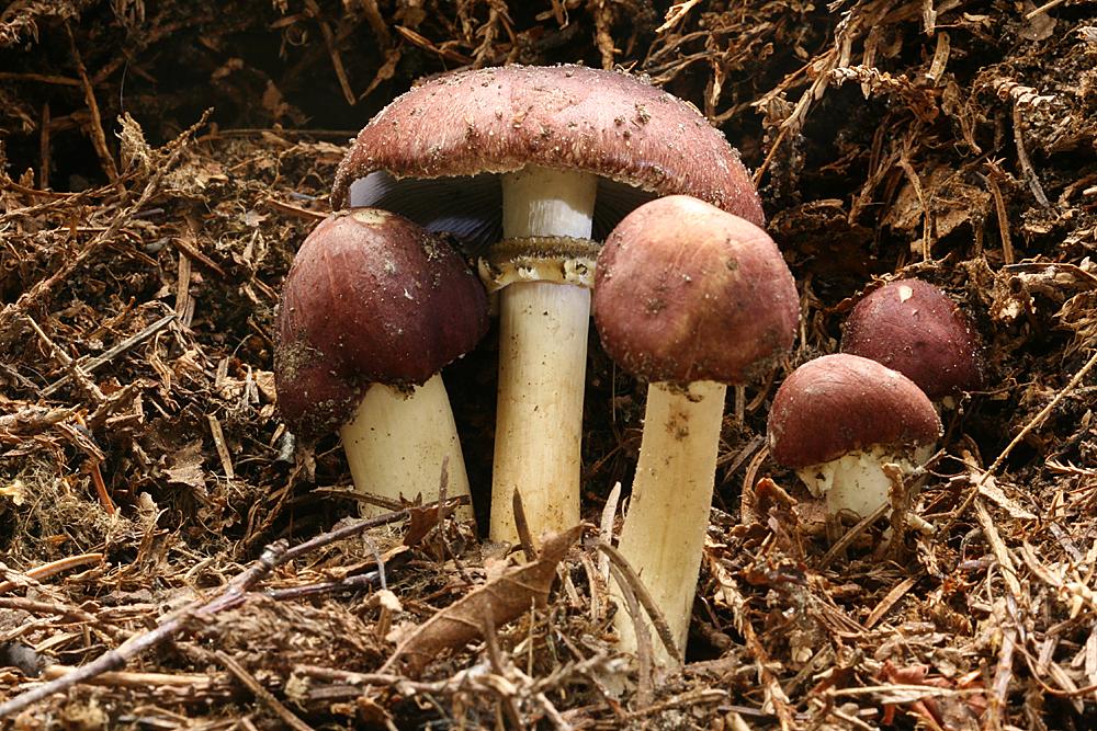Riesentäuschling Pilzzucht Pilze züchten Braunkappen-Substratbrut Pilzbrut