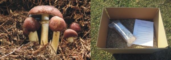 Braunkappen Garten Pilzbeet