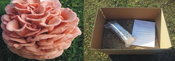 Rosenseitlinmge auf Stroh züchten